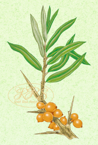 Common sea buckthorn