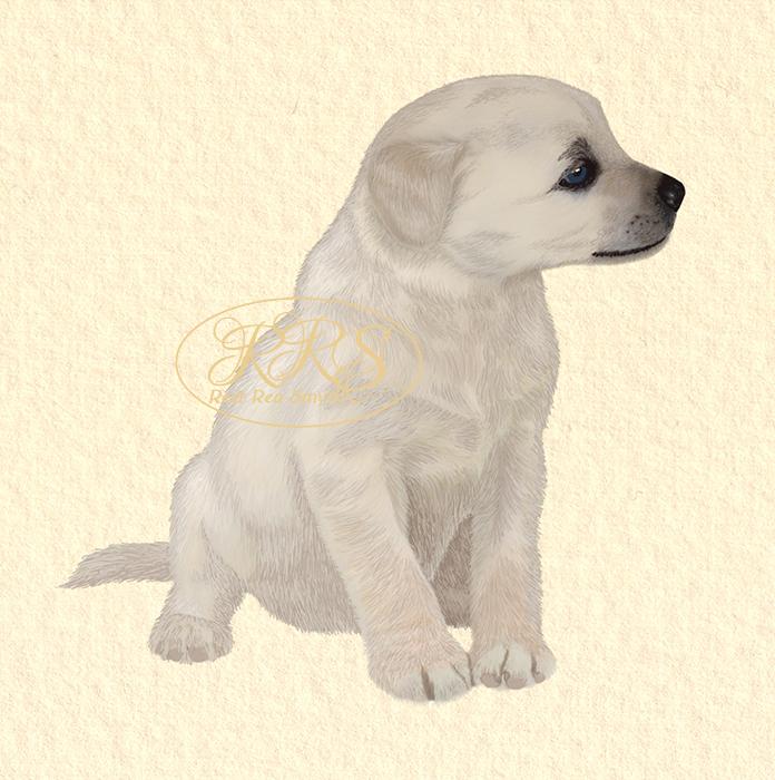Labradori kutsikas