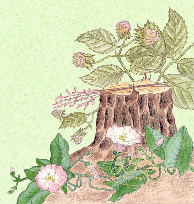 Stump, wild raspberry and convolvulus