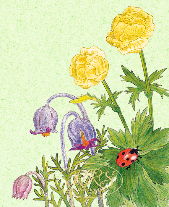 Trollius and pulsatilla with a ladybird