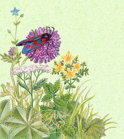 Wild flowers and zygaena