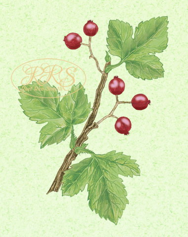 Mountain currant