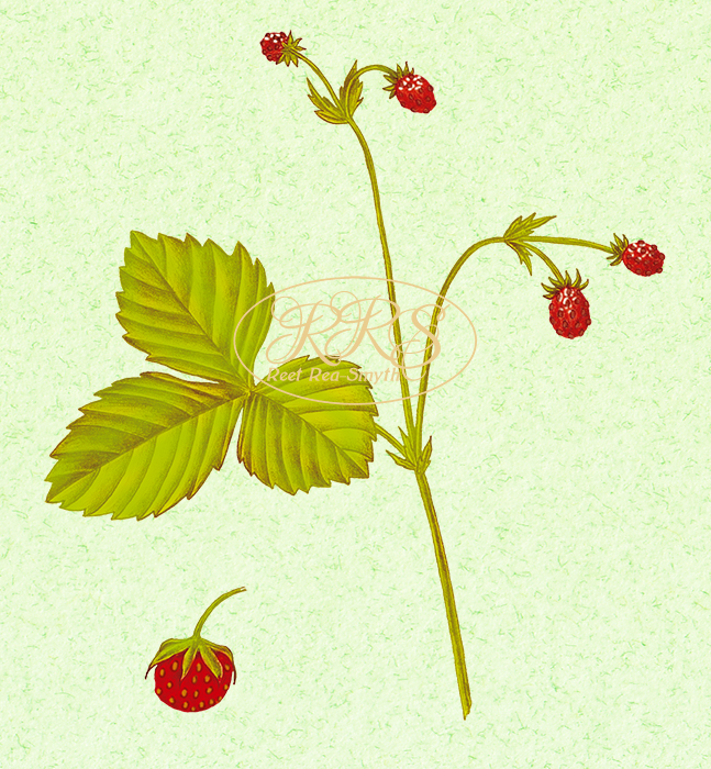 Wild strawberry, Fragaria viridis