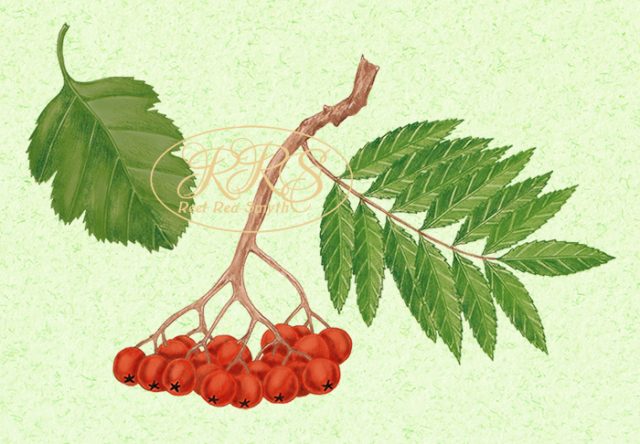 Rowan, Swedish whitebeam