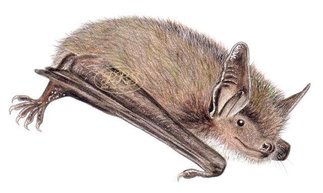 Brandt's bat