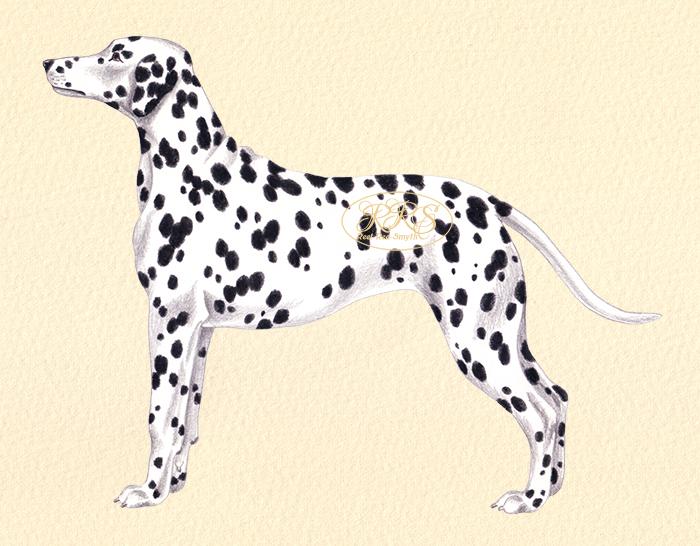 Dalmaatsia koer