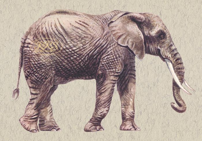 Aafrika elevant