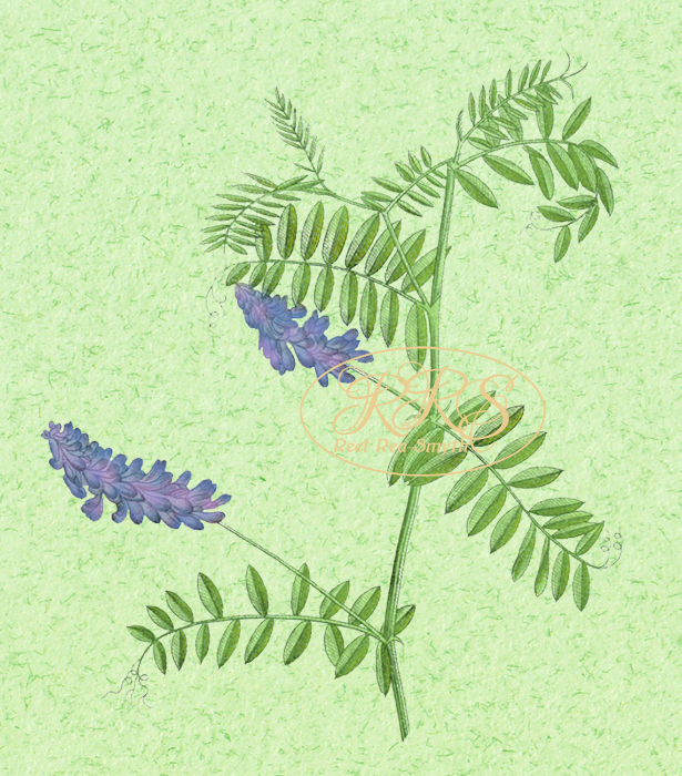 Cow vetch