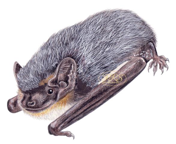 Hõbe-nahkhiir