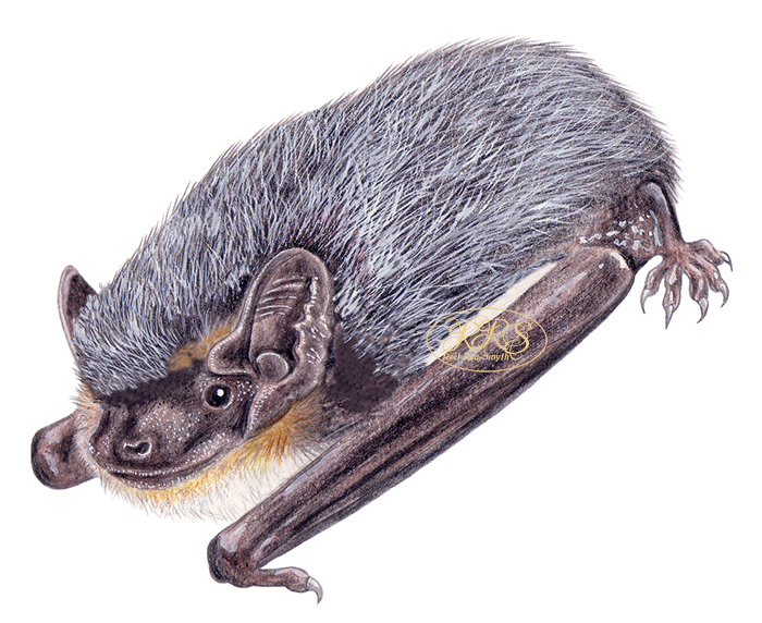 Parti-coloured bat