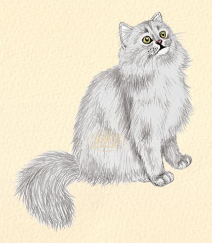 Briti pikakarvaline kass