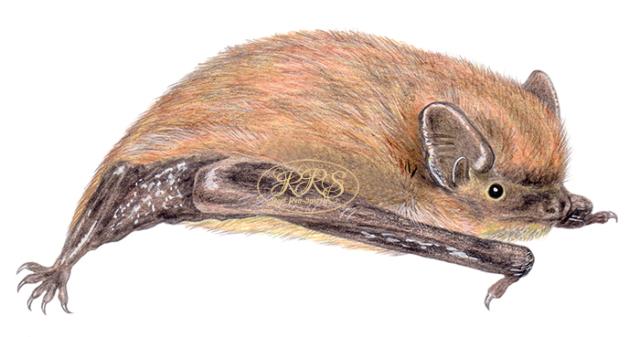 Common pipistrelle
