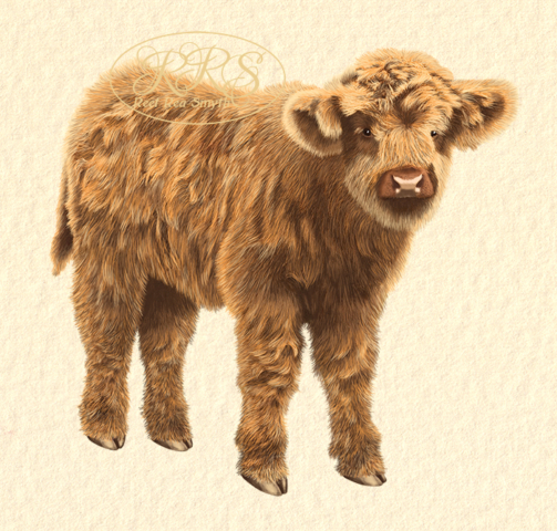 Highland cattle calf