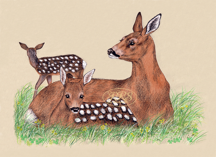 Roe deer family