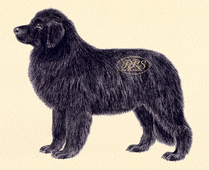 Newfoundlandi koer