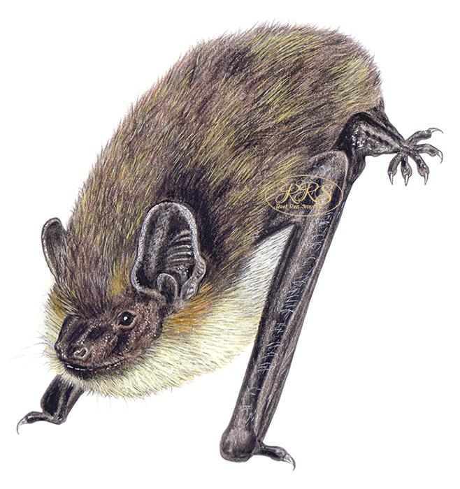 Põhja-nahkhiir