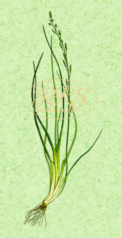 Marsh arrowgrass