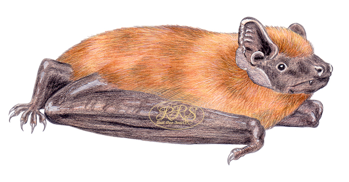 Common noctule