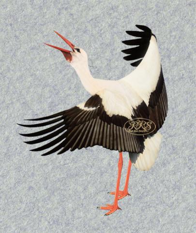 Clattering white stork