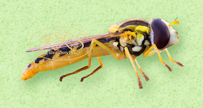 Long hoverfly